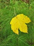 明亮的黄色枫叶在马尾新鲜的绿色词根跌倒了。 免版税库存图片