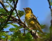 明亮的黄色母织布工鸟 库存图片