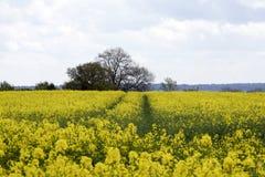 明亮的黄色油菜的一个美好的领域的看法 库存图片