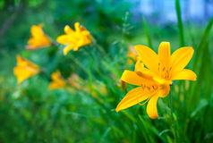 明亮的黄色百合花在夏天庭院里 免版税库存照片