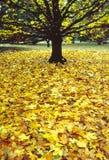 明亮的黄色秋叶围拢上面光秃的树 图库摄影