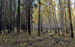 明亮的黄色秋天桦树和杉木森林在10月 库存图片