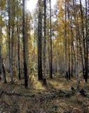 明亮的黄色秋天桦树森林在10月 库存照片