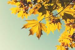 明亮的黄色红色秋天槭树离开,减速火箭 免版税库存照片