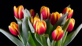 明亮的黄色红色郁金香绽放花束  股票视频