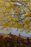 明亮的黄色色的树 图库摄影