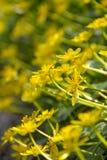 明亮的黄色花 库存图片