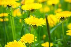 明亮的黄色蒲公英花 免版税图库摄影