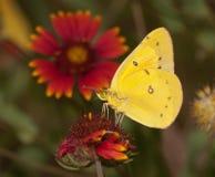 明亮的黄色被覆盖的白蝴蝶 免版税库存图片