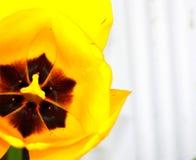 明亮的黄色郁金香黑色中心细节 免版税库存照片