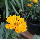 明亮的黄色金鸡菊 免版税图库摄影