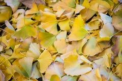 明亮的黄色颜色银杏树叶子 图库摄影