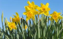明亮的黄色黄水仙开花开花在被日光照射了春天草甸 图库摄影
