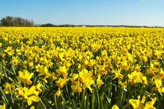 明亮的黄色黄水仙的领域 库存照片