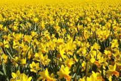 明亮的黄色黄水仙的领域 免版税库存照片