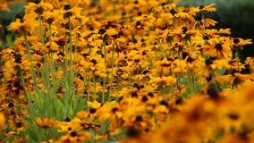明亮的黄色黄金菊或黑眼睛的苏珊在庭院里开花 股票视频