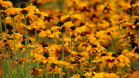 明亮的黄色黄金菊或黑眼睛的苏珊在庭院里开花 股票录像