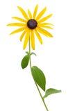 明亮的黄色黄金菊或黑眼睛的苏珊 免版税库存照片