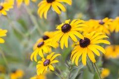 明亮的黄色黄金菊或黑眼睛的苏珊 库存图片