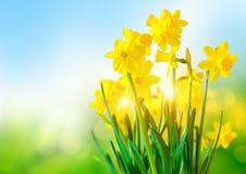 明亮的黄色黄水仙 免版税库存照片