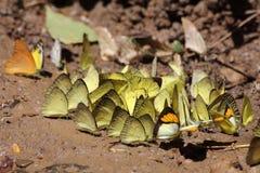 明亮的黄色butterflaies 免版税库存照片