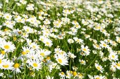 明亮的camomiles草甸夏天 免版税库存图片