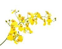 明亮的oncidium黄色 库存照片