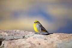 明亮的rumped黄色雀科Sicalis uropigyalis 库存照片
