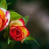 明亮美丽在黑暗的背景,您的文本的地方上升了 花卉设计,背景,卡片,问候,烙记 图库摄影