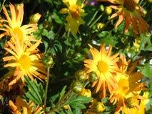 明亮黄色chrusanthemums 免版税库存图片