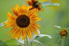 明亮,大胆的黄色翠菊 库存图片