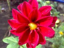 明亮,红色,美丽的大丽花'figaro' 免版税图库摄影