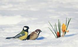 明信片两鸟、麻雀和山雀在明亮的美好的春天附近 库存照片