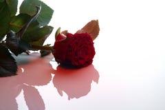 明信片在华伦泰` s天,在光滑的白色背景的一朵玫瑰 免版税图库摄影