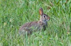 明信片用坐在草的一只逗人喜爱的兔子 免版税库存照片
