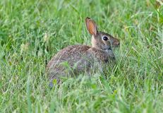 明信片用坐在草的一只逗人喜爱的兔子 库存图片