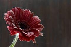 明信片红色大丁草花特写镜头用水滴下 抽象背景褐色排行照片 免版税库存照片