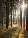 黎明在杉木森林里 库存图片