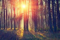 黎明在杉木森林里 库存照片