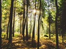 黎明在森林 免版税库存图片