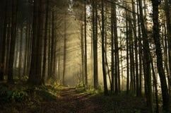 黎明在森林 库存照片