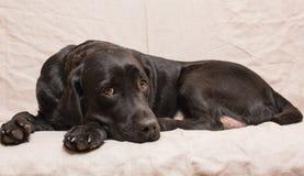 明智一条母狗 免版税库存照片
