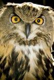 明智猫头鹰的纵向 库存图片