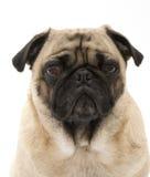 明智的哈巴狗 免版税库存图片