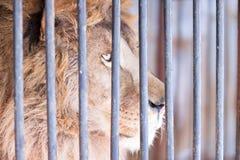 明智的扫视狮子关在监牢里 免版税库存图片