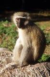明智的猴子 免版税库存照片