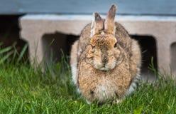 明智的看起来的老雪兔从他的小屋下面出来春天 在照相机的凝视,看上去非常聪明 免版税库存照片