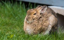 明智的看起来的老雪兔从他的小屋下面出来春天 在照相机的凝视,看上去非常聪明 图库摄影