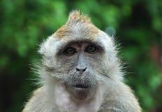 明智的猴子 免版税库存图片