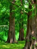 黎明红木树 库存照片